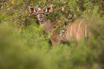Kudu, Mabula Game Reserve, Limpopo, Sydafrika