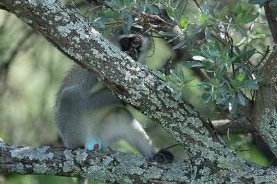 Vervet monkey i Mabula Game Reserve, Limpopo, Sydafrika