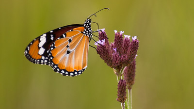 Sommerfugl, Mabula Game Reserve, Limpopo, Sydafrika