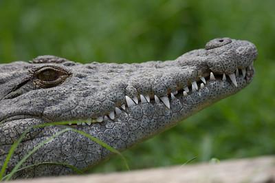 Krokodille, Mabula Game Reserve, Limpopo, Sydafrika