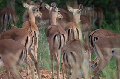 Impala, Mabula Game Reserve, Limpopo, Sydafrika