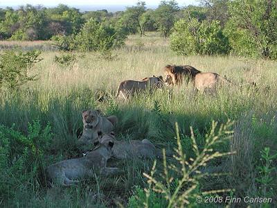 Løver, Mabula Game Reserve, Limpopo, Sydafrika