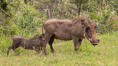 Vortesvin i Mabula Game Reserve, Limpopo, Sydafrika