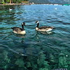 Ducks on a Clear Day, Lake Tahoe