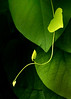 Ivy at Bayard Cutting Arboretum, Long Island, New York