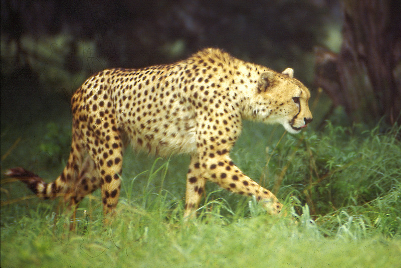 Cheeta on the prowl at Fossil Rim sanctuary, Florida