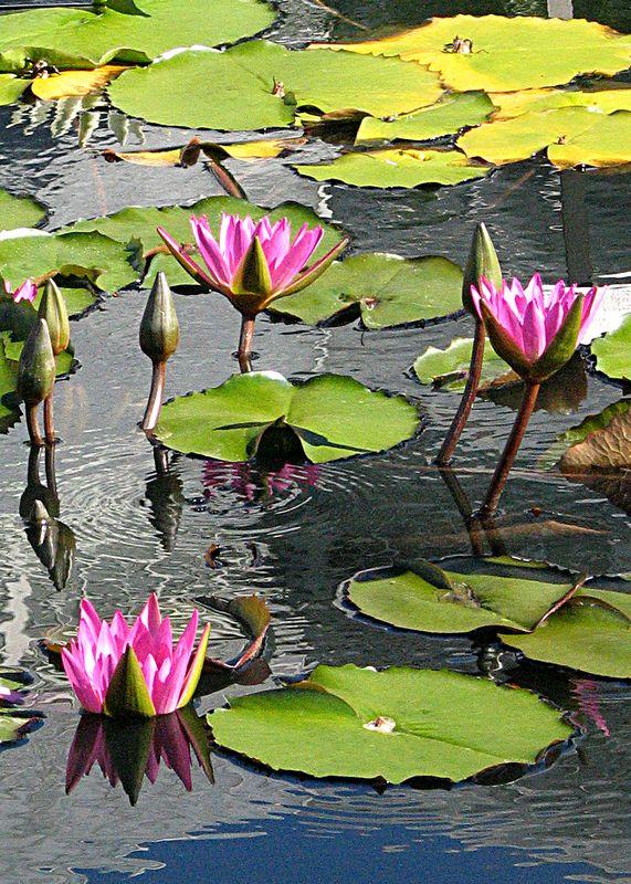 Red Water Lillies, New York Botanical Garden