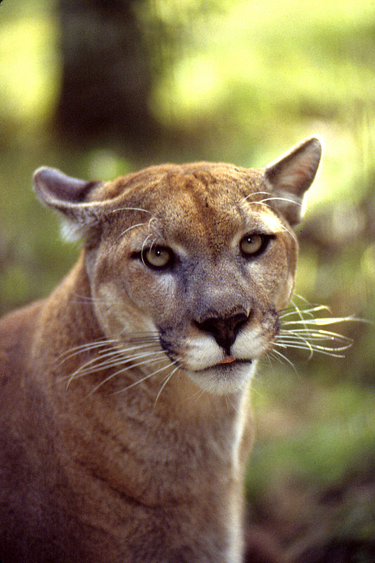Female Florida panther, Babcock Wilderness Adventures, Babcock, FL