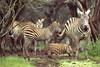 Grants Zebra from Africa, at the Fossil Rim Wildlife Center, Glen Rose, Texas
