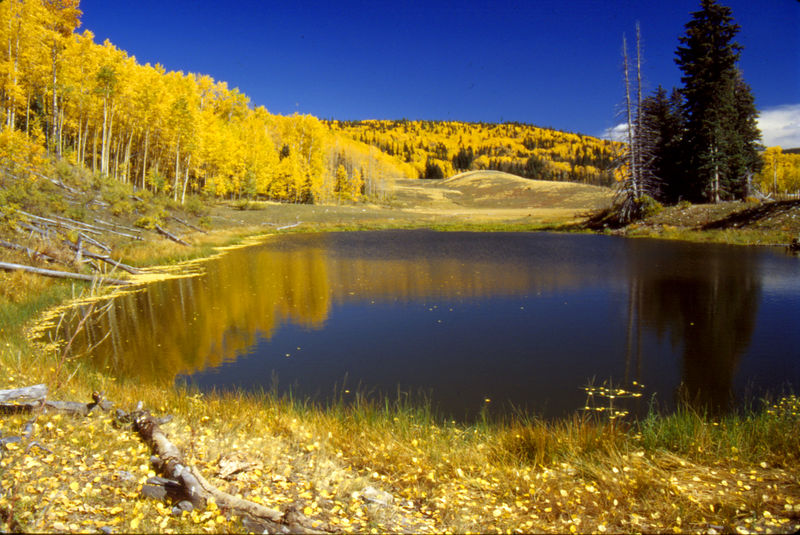 Spectaular golden aspens reflected in small lake near Tres Piedras, New Mexico.