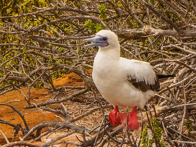 Red-footed Boobie (Sula sula)