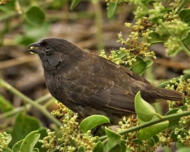 Medium Ground Finch (Geospiza fortis)