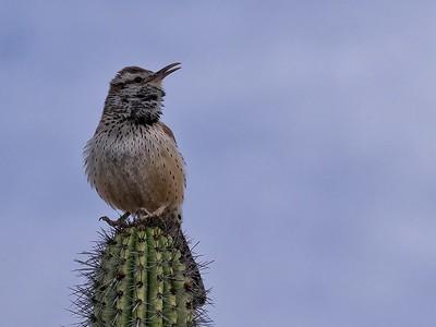 Cactus wren (Campylorhynchus brunneicapillus)