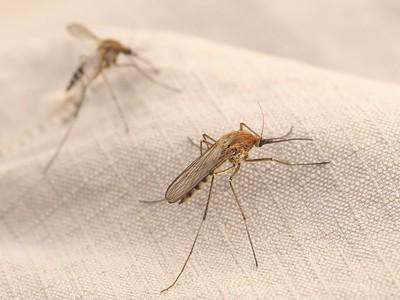 Alaskan Snow Mosquito  (Culiseta alaskensis)