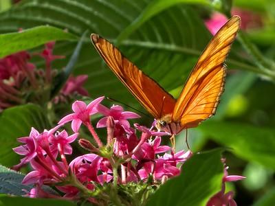 Julia Butterfly  (Dryas iulia )