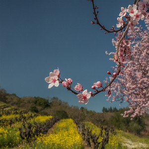 Plum blossoms, mustard, and old vines