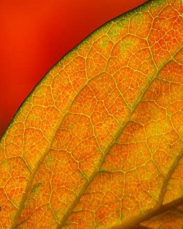 Persimmon leaf  Santa Rosa, CA December 2018