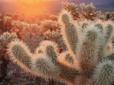 Cholla Sunrise