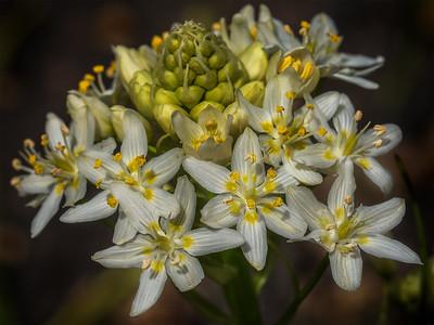 Fremont's Star Lily  (Toxicoscordion fremontii) Melanthiaceae Family