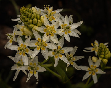 Fremont's Star Lily - pollinated by ants