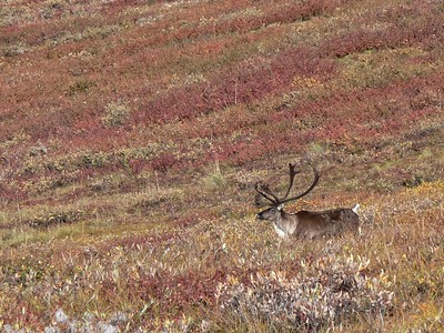 Barren Ground Caribou  (Rangifer tarandus)