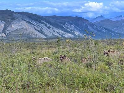 Barren-ground Grizzlies (Ursus arctos horribilis)