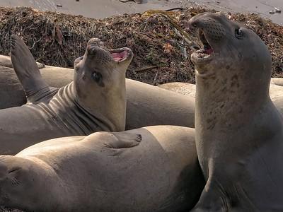 Elephant Seal  (Mirounga  angustirostris)