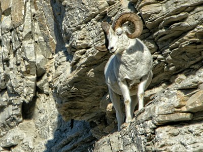 Dall Sheep  (Ovis dalli)