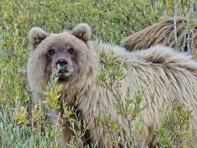 Barren-ground Grizzly (Ursus arctos horribilis)