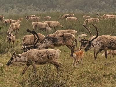 Barren Ground Caribou  (Rangifer tarandus)