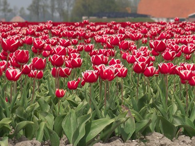 19  tulips near Haarlingen, Friesland P1250054