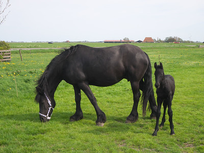 18  Friesian mare and foal P1240824