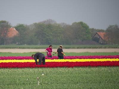 20  tulips near Harlingen, Friesland P1250035