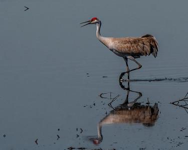 Sandhill crane (Grus canadensis)  Walnut Grove, CA March 2018