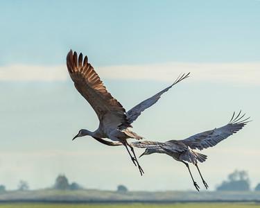 Sandhill cranes (Grus canadensis)  Walnut Grove, CA December 2018