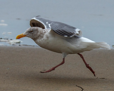 Herring Gull (Larus argentatus) Dillon Beach, CA January 2019