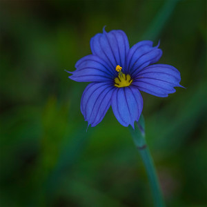 Blue Eyed Grass (Sisyrinchium bellum) Iris Family