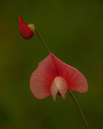 Spanish Lotus (Acmispon americansu) Pea Family