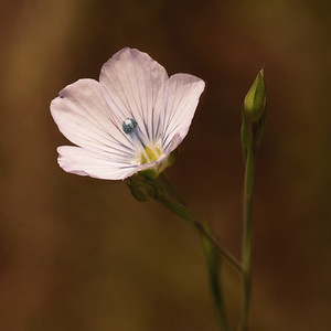 Pale Flax (Linum bienne) Flax Family
