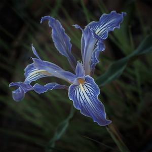 Bowl Tubed Iris (Iris macrosiphon)