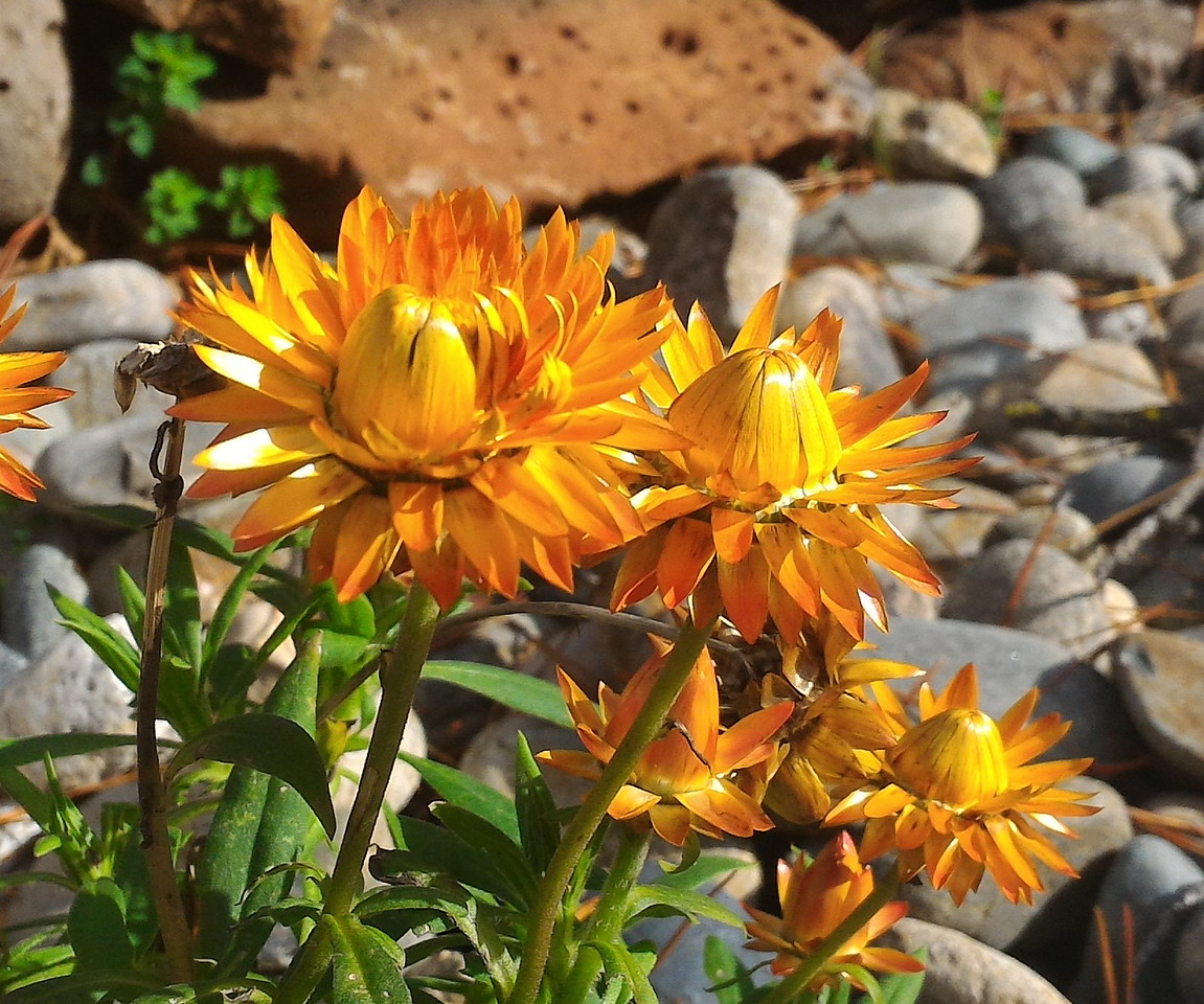 I was in the mood to keep taking pictures with the smartphone.  The strong orange color of these gazania flowers appealed to me.  I'm used to seeing thew mature flowers but these buds opening had an interesting and different shape.