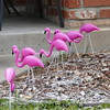 In the next block, I noticed a flock of flamingos grazing in a yard.