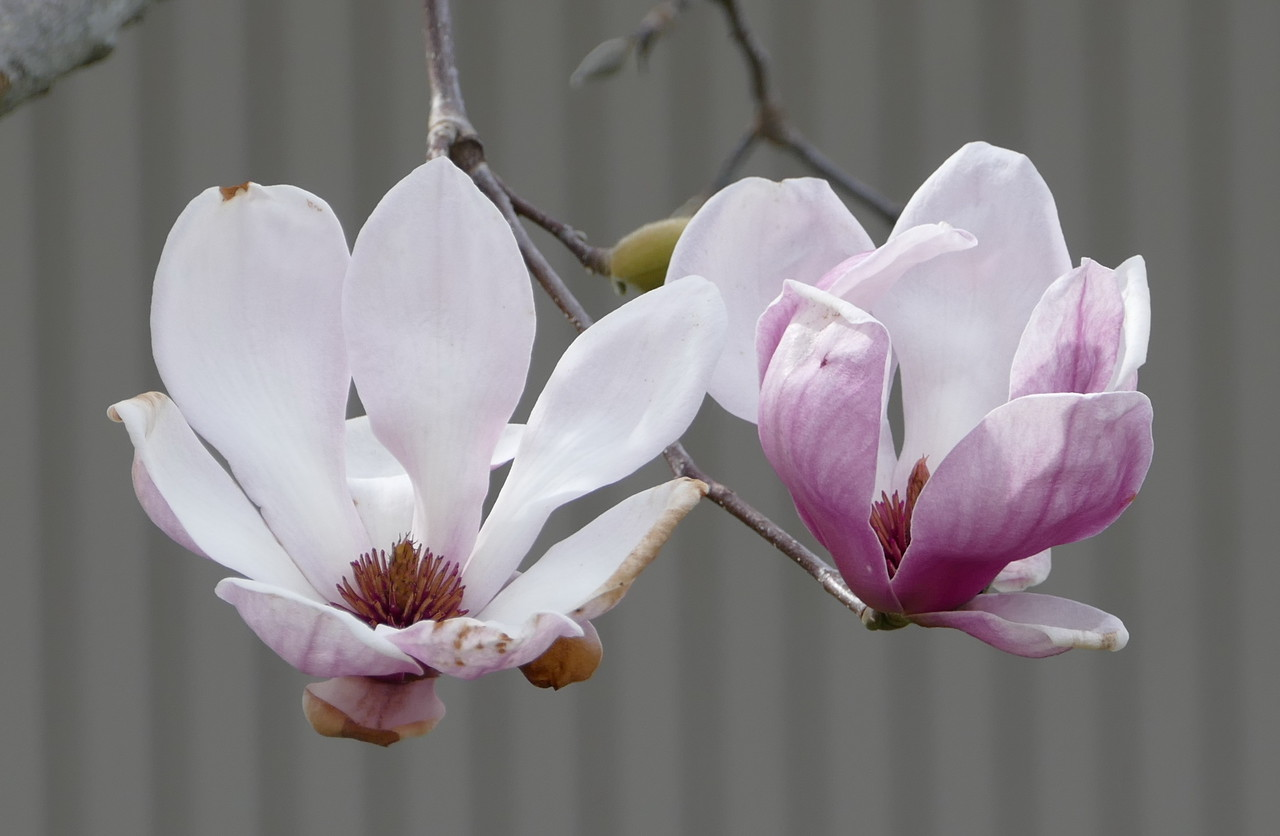 I had seen these saucer magnolia trees in bloom yesterday.  Getting a good picture was an objective on today's walk.  There were several trees along my route and lots of flowers but no  perfect specimens.