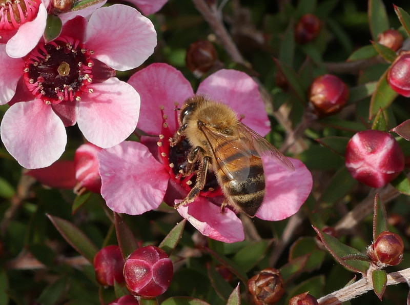 A honeybee came along to collect nectar; I got a few pictures of the bee on the flowers.