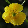 Morning sun at a low angle coming through the petals (and the raindrops) produced a different look for this buttercup flower in our yard.