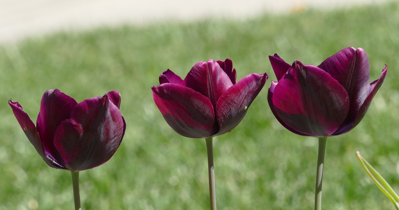 A small green insect on the middle tulip gives a bit of contractg to the intense purple color.