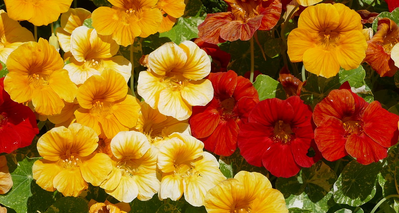 All sorts of color in thus group of nasturtiums.