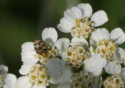 04_12_2016_bugs on Yarrow flowers in back yard