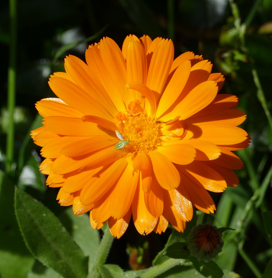I spotted a small green object on an orange calendula flower.  Aha, perhaps an insect!  Viewed on my PC, I could see the insect clearly.