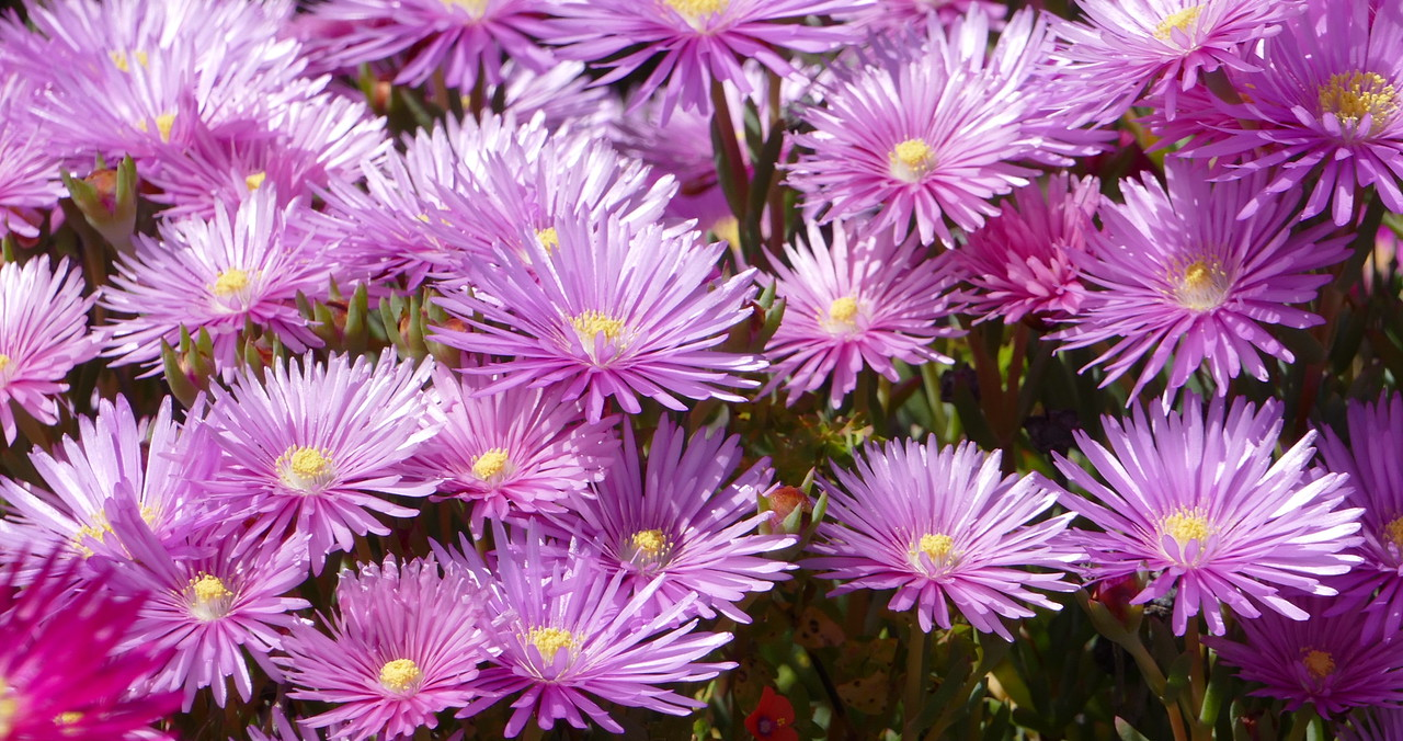 Pink iceplant flowers provided a mass of color.